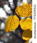 yellow tilia leaves