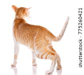 red kitten peterbald oriental... | Shutterstock . vector #775260421
