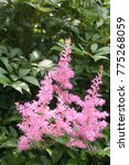 Small photo of Pink Astilbe flowers in the garden. Ornamental flower