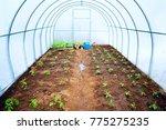 fresh green young seedlings of... | Shutterstock . vector #775275235