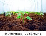 young fresh sprout in sunlight... | Shutterstock . vector #775275241