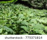 Small photo of Stinging nettles - green leaves with serrated margin, (Urtica dioica), Green natural background