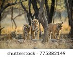 tiger family a stroll one early ... | Shutterstock . vector #775382149