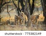 Tiger Family A Stroll One - Fine Art prints
