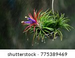 Tillandsia And Water Spray