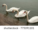 Three Swans In River Waters...