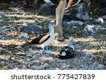 blue footed booby  sula... | Shutterstock . vector #775427839