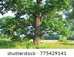 spring oak tree in green meadow ... | Shutterstock . vector #775429141