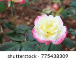 beautiful blooming rose | Shutterstock . vector #775438309