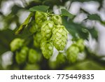 close up cascade hop growing on ... | Shutterstock . vector #775449835