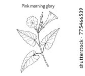 pink morning glory  ipomoea... | Shutterstock .eps vector #775466539