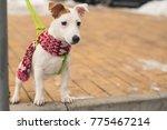 beautiful jack russell terrier... | Shutterstock . vector #775467214