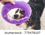 happy bernese mountain dog... | Shutterstock . vector #775478107