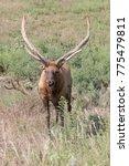 Small photo of American Elk (Cervus elaphus) with large antlers covered in velvet.