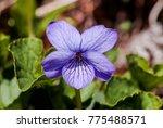 alaska violet  viola... | Shutterstock . vector #775488571