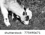 white goat young one eats crops ... | Shutterstock . vector #775490671
