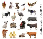 Livestock on a white background....