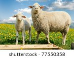 mother sheep and her lamb in... | Shutterstock . vector #77550358