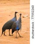 Vulturine Guineafowl  Samburu ...