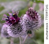 Purple Thistle  Blooming With...