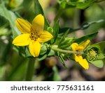 Texas Yellow Star Wildflower ...