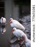 Small photo of American White ibis Eudocimus albus bird in a pond in Naples, Florida, USA