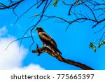 steppe buzzard perched on a...   Shutterstock . vector #775665397