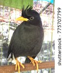 Small photo of Bird, Acridotheres, White-ventedMyna