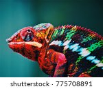 colorful chameleon in forest | Shutterstock . vector #775708891