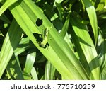 green grasshopper eating leaves | Shutterstock . vector #775710259