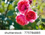 Stock photo rose bush with lots of pink roses in bloom soft focus 775786885