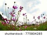 cosmos pink flowers bloomming... | Shutterstock . vector #775804285