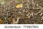 new plants growing in the... | Shutterstock . vector #775807801