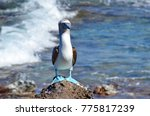blue footed booby  isla isabel  ... | Shutterstock . vector #775817239