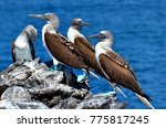 blue footed booby  isla isabel  ... | Shutterstock . vector #775817245