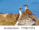 blue footed booby  isla isabel  ... | Shutterstock . vector #775817251