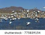 Snow Geese Bosque Del Apache ...