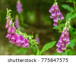 Common Foxglove Flowers In...