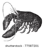 Common Lobster Or Homarus...