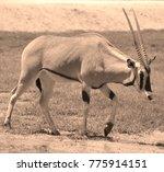 scimitar oryx or scimitar... | Shutterstock . vector #775914151