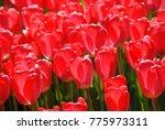 beautiful fresh tulip flower in ... | Shutterstock . vector #775973311