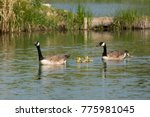 A Family Of Canada Geese...