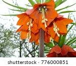 Blooming Crown Imperial In...