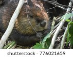 adorable wild beaver eating... | Shutterstock . vector #776021659