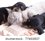 Stock photo british kitten rare color lilac and puppies dachshund 77602837