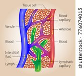 the lymph system  relationship... | Shutterstock .eps vector #776074015