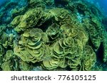 Small photo of Plate coral in the cabbage patch dive site
