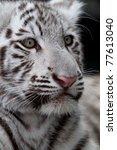 White Tiger Cub Portrait