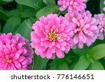 Pink Zinnia Flower  Zinnia...