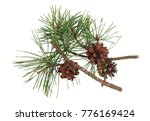 winter pine real twigs with... | Shutterstock . vector #776169424